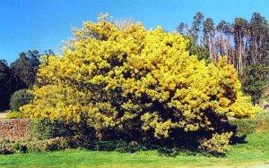 mimosa dealbata
